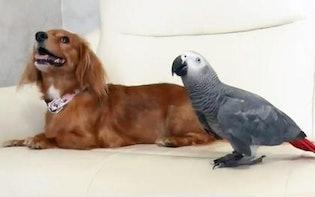 驚きの一芸! ワンちゃんに「おすわり」させる鳥:どうぶつピース